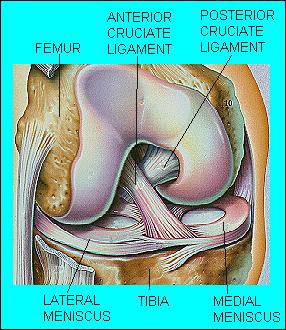 Pic. 1 Knee Joint Meniscus and Ligaments
